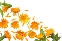 Marigold flowers with green leaf isolated on white background calendula flower top view stock photo