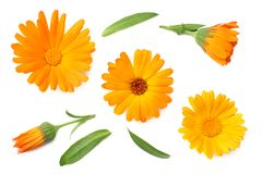 Marigold flowers with green leaf isolated on white background. calendula flower. top view royalty free stock photo