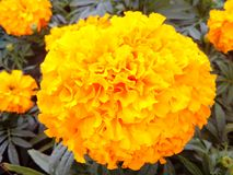 Marigolds. Flowers growing popularity grow well in tropical planted easy blossom yellow bright to be desired of the many Stock Photos