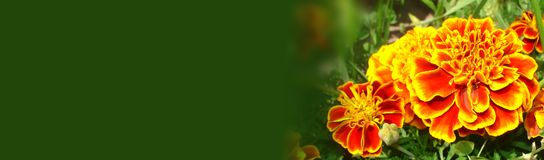 Marigold flowers horizontal banner. Bright orange with red and yellow fragrant  garden marigold & x28;Tagetes& x29; flowers  on a dark green uniform background Royalty Free Stock Images