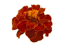 Marigold flowers isolated Royalty Free Stock Images
