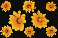 Marigold flowers. Isolated on black Stock Photos