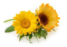 Marigold flowers isolated on white.  stock image