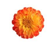 Marigold flowers isolated on white Royalty Free Stock Photos