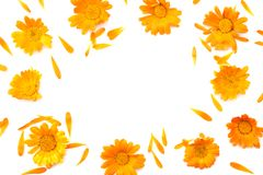 Marigold flowers isolated on white background  calendula flower  top view Royalty Free Stock Photo