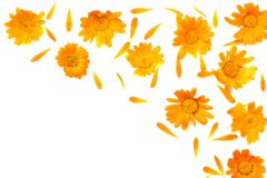 Marigold flowers isolated on white background calendula flower top view stock image