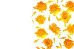 Marigold flowers isolated on white background calendula flower top view. Marigold flowers isolated on white background  calendula flower  top view stock images