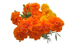 Marigold flowers isolated on a white Royalty Free Stock Photo