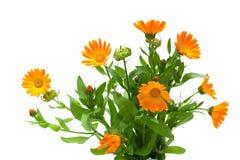 Marigold flowers isolated on white background Stock Photography
