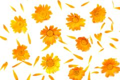 Marigold flowers isolated on white background. Calendula flower top view stock photography