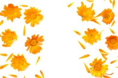 Marigold flowers isolated on white background. Calendula flower top view stock photo