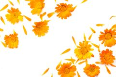 Marigold flowers isolated on white background. Calendula flower top view royalty free stock photography