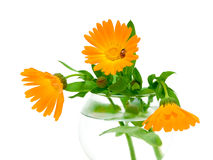 Marigold flowers and ladybug on a white background Royalty Free Stock Images