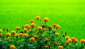 Group of marigold flowers growing up in the organic farm and beautiful green field in countryside of Thailand. Marigold flowers ,local flower growing up on the stock photo
