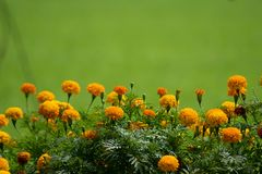 Group of marigold flowers, tropical flowers growing up in the organic farm in the countryside of Thailand. Marigold flowers ,local flower growing up on the rice stock images