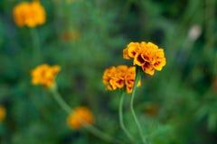 Marigold flowers macro royalty free stock photos