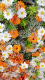 Marigold flowers with margaritas Royalty Free Stock Photos