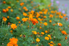 Marigold flowers. Marigold flowers in the meadow. Yellow marigold flowers in the garden. Marigold flowers. Marigold flowers in the meadow in the sunlight. Yellow Royalty Free Stock Photos