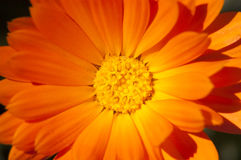 Marigold flowers. Marigolds flowers under sun rays Stock Photography