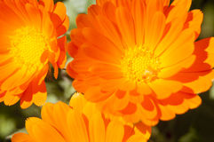 Marigold flowers Stock Photo