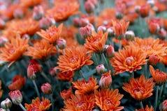 Marigold flowers in the meadow, orange flowers Stock Photo