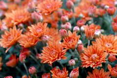 Marigold flowers in the meadow, orange flowers Royalty Free Stock Images