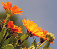 Marigold. Flowers in the meadow in the sunlight Stock Images