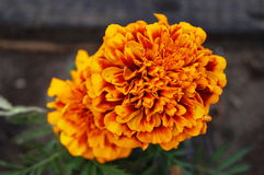 Marigold flowers with orange-yellow petals on a bush Stock Image