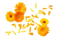 Marigold flowers with petals isolated on white background. calendula flower. top view royalty free stock photos