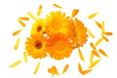 Marigold flowers with petals isolated on white background. calendula flower. top view stock image