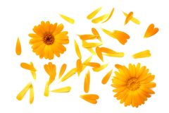 Marigold flowers with petals isolated on white background. calendula flower. top view stock images