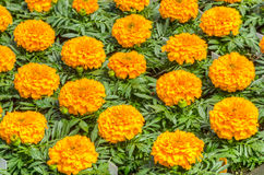 Marigold flowers ready to plant Royalty Free Stock Photography