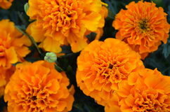 Marigold flowers. Some orange marigold flowers in september royalty free stock photography