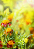 Marigold flowers in sunlight in garden Royalty Free Stock Images