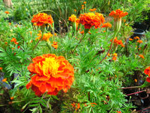Marigold Flowers. Tagetes Marigold Flowers Photo taken on: July 25th, 2014 stock photos
