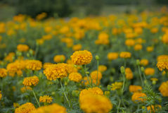 Marigold flowers in Thailand. Marigold flowers in garden on Thailand Royalty Free Stock Photography