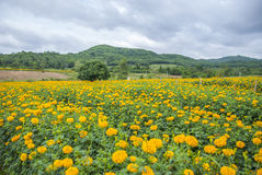 Marigold flowers in Thailand. Marigold flowers in garden on Thailand Royalty Free Stock Photos
