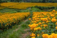 Marigold flowers in Thailand. Marigold flowers in garden on Thailand Stock Photos