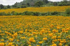 Marigold flowers in Thailand. Marigold flowers in garden on Thailand Royalty Free Stock Image