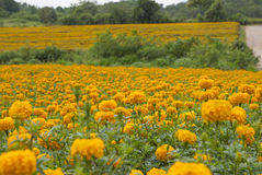 Marigold flowers in Thailand. Marigold flowers in garden on Thailand Royalty Free Stock Photo