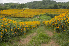 Marigold flowers in Thailand. Marigold flowers in garden on Thailand Stock Images