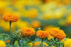 Marigold flowers and their buds Stock Photo