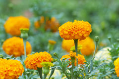 Marigold flowers and their buds Royalty Free Stock Images