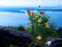 Marigold flowers and timber / sky background./ At the view point Royalty Free Stock Images