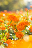 Marigold flowers with water drop Royalty Free Stock Photos
