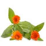 Marigold flowers on white background. Stock Photos