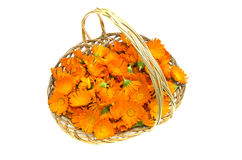 Marigold flowers in a wicker basket isolated on white background Stock Image