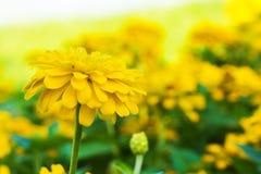 Marigold flowers. Yellow stock photo