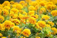 Marigold flowers Royalty Free Stock Photo