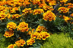 Marigold flowers with yellow petals Royalty Free Stock Images